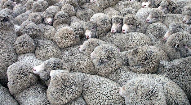 pecore.sheep-3661084__340