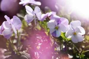 aromatherapy beautiful bloom blooming
