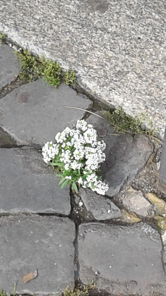 fiori fra i sanpietrini.20190520_173058