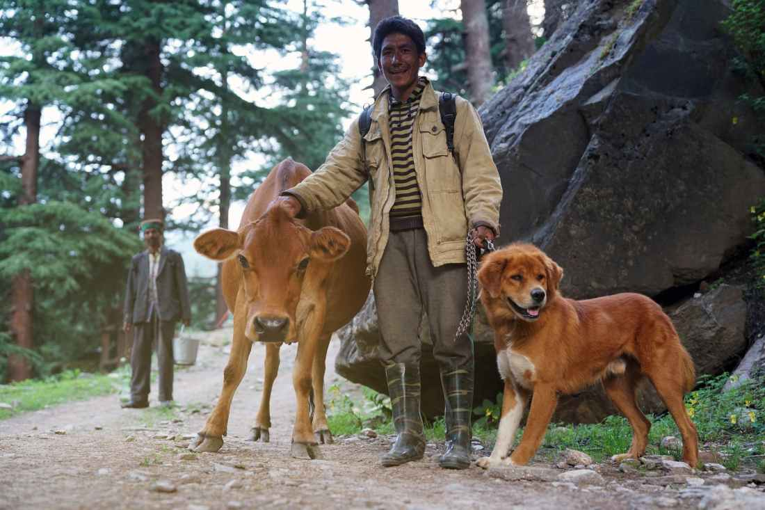 man standing with brown cattle and short coated tan dog