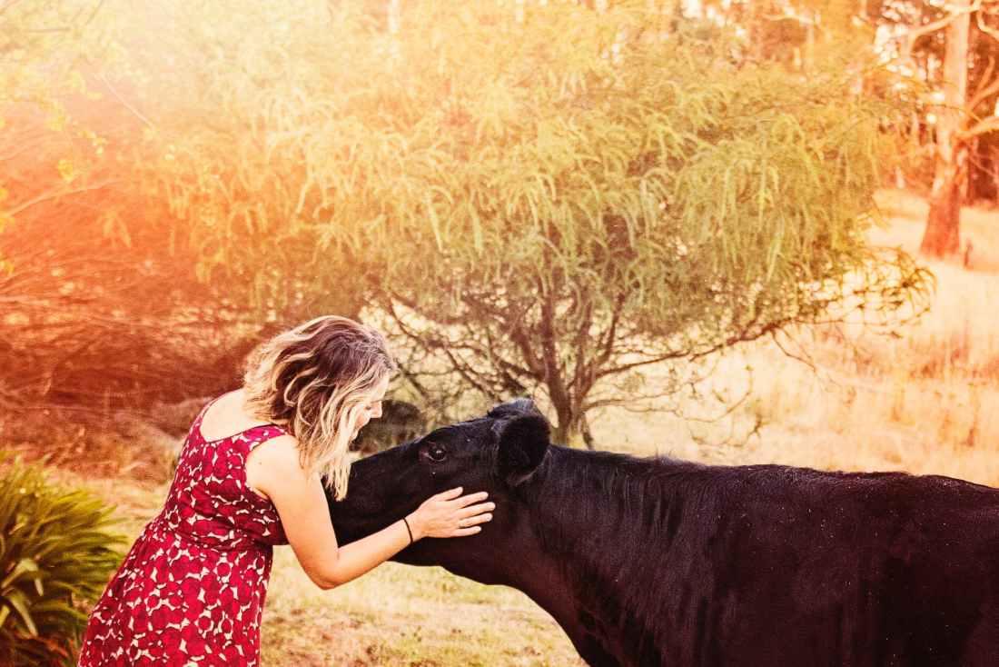 animal beautiful cow daylight